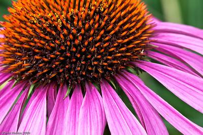 Purple Cone Flower (Echinacea)