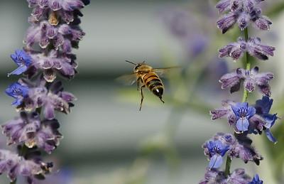 Honey Bee frozen between Russian Sage