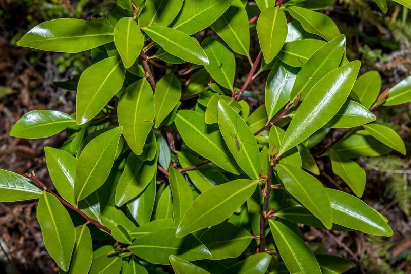 Lowland pepper tree (Pseudowintera axillaris). Abel Tasman Inland Track below Holyoake Clearing.