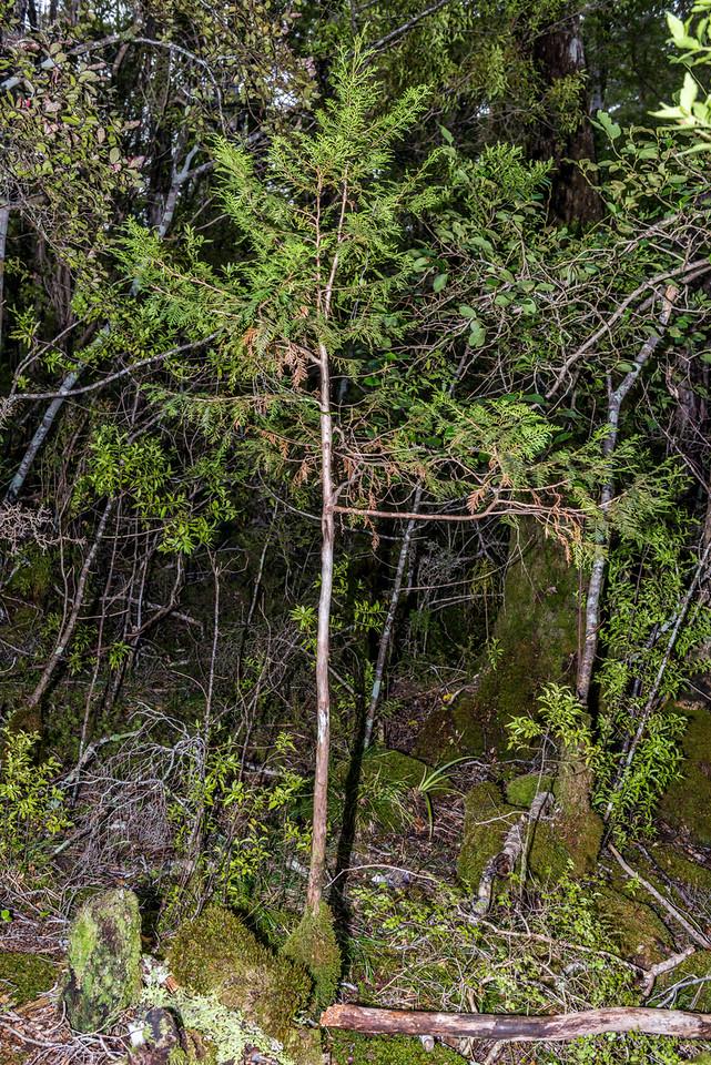 Mountain cedar / kaikawaka or pāhautea (Libocedrus bidwillii). Evans Ridge, Abel Tasman National Park.