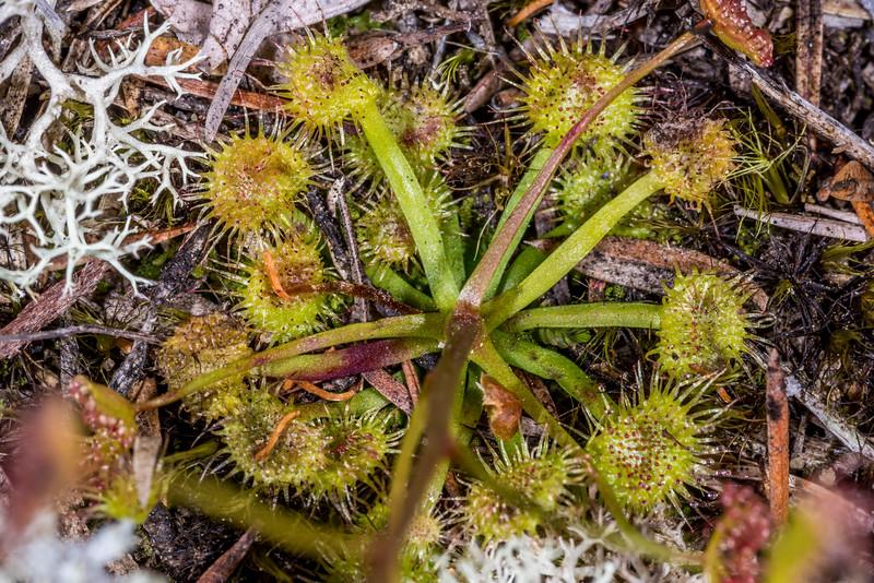 Drosera auriculata. Yellow Point, Abel Tasman National Park