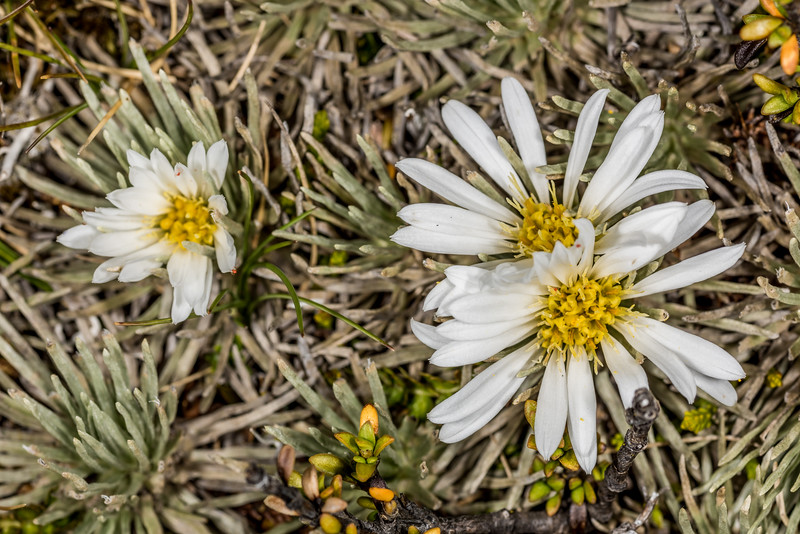 White cushion mountain daisy (Celmisia sessiliflora). Mount Arthur, Kahurangi National Park.