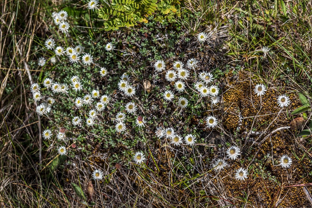 Everlasting daisy (Anaphalioides bellidioides). Ellis Basin, Arthur Range, Kahurangi National Park.