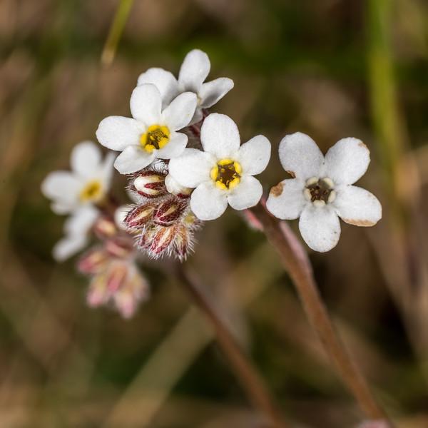 "Myosotis aff. australis ""white"". Ellis Basin, Arthur Range, Kahurangi National Park."