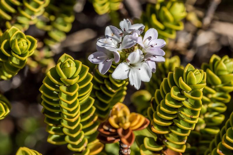 Veronica (Hebe) masoniae. Mount Arthur, Kahurangi National Park.