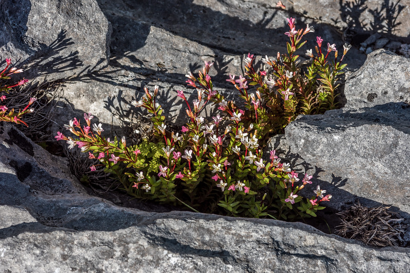 Alpine willowherb (Epilobium glabellum). Mount Arthur, Kahurangi National Park.