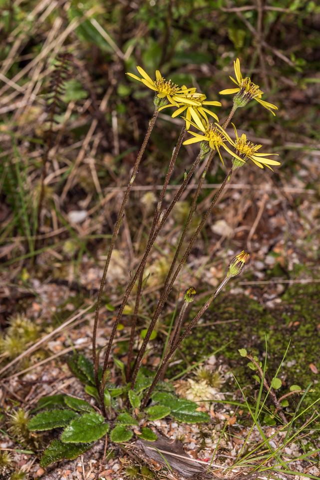 Brachyglottis bellidioides. Gouland Downs, Heaphy Track, Kahurangi National Park.