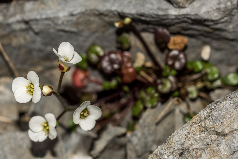 New Zealand bittercress (Cardamine basicola). The Twins, Arthur Range, Kahurangi National Park.