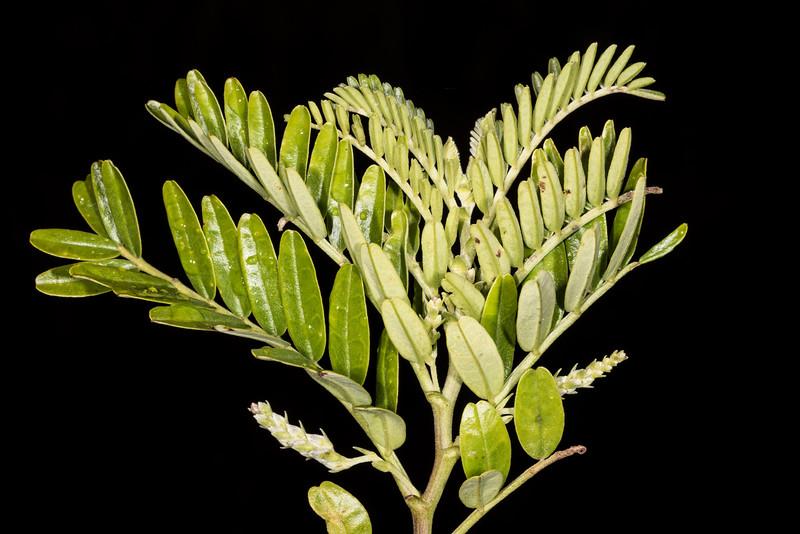 Kakabeak / kōwhai ngutu-kākā (Clianthus maximus). Marauiti Hut, Lake Waikaremoana, Te Urewera National Park.