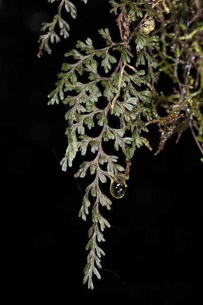 Filmy fern / piripiri (Hymenophyllum sanguinolentum). Onepoto to Panekiri Bluff, Lake Waikaremoana Track, Te Urewera National Park.