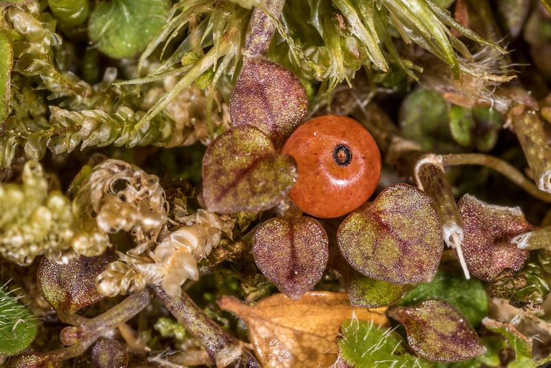 Nertera ciliata. Pukepuke to Kaipo Lagoon track, Te Urewera National Park.