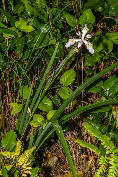 Purdy's Iris (Iris purdyi). Patrick's Point State Park, CA, USA.