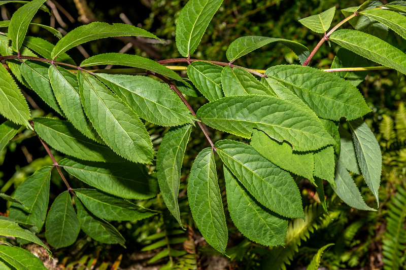 Red-berried Elder (Sambucus racemosa). Boy Scout Tree Trail. Jedediah Smith Redwoods State Park.