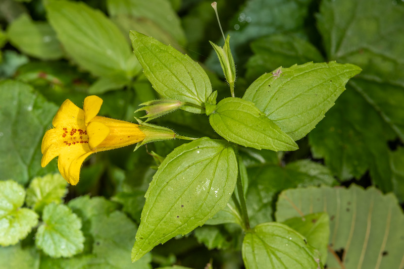 Coastal monkeyflower (Erythranthe dentata).<br /> Fern Canyon. Prairie Creek Redwoods State Park, California.