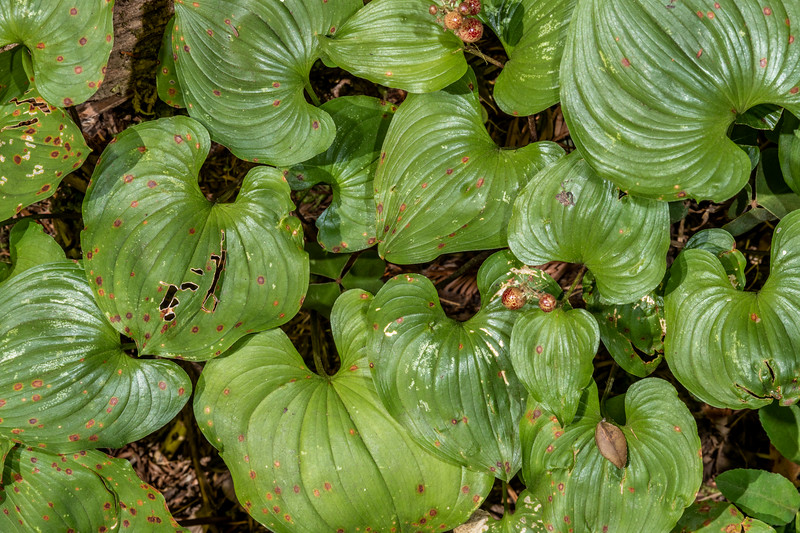 Western Lily of the Valley (Maianthemum dilatatum). Boy Scout Tree Trail. Jedediah Smith Redwoods State Park.