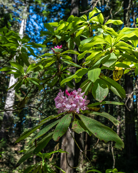 Pacific rhododendron (Rhododendron macrophyllum). Lady Bird Johnson Trail. Redwood National Park, CA, USA.