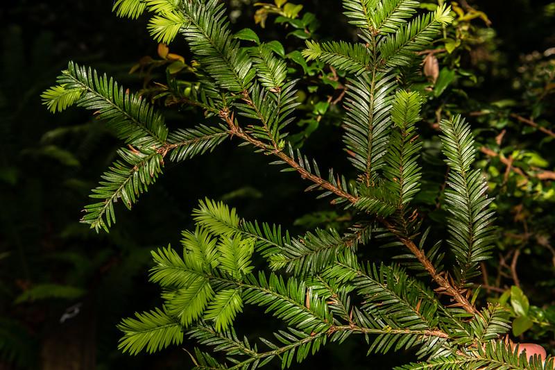 Coast redwood (Sequoia sempervirens). <br /> Lady Bird Johnson Trail. Redwood National Park, CA, USA.