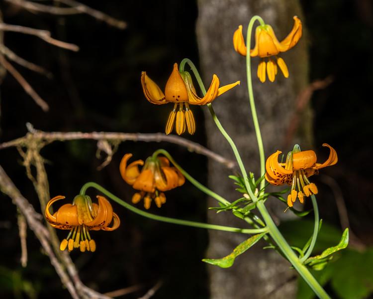 Columbia lily (Lilium columbianum). Lady Bird Johnson Trail. Redwood National Park, CA, USA.