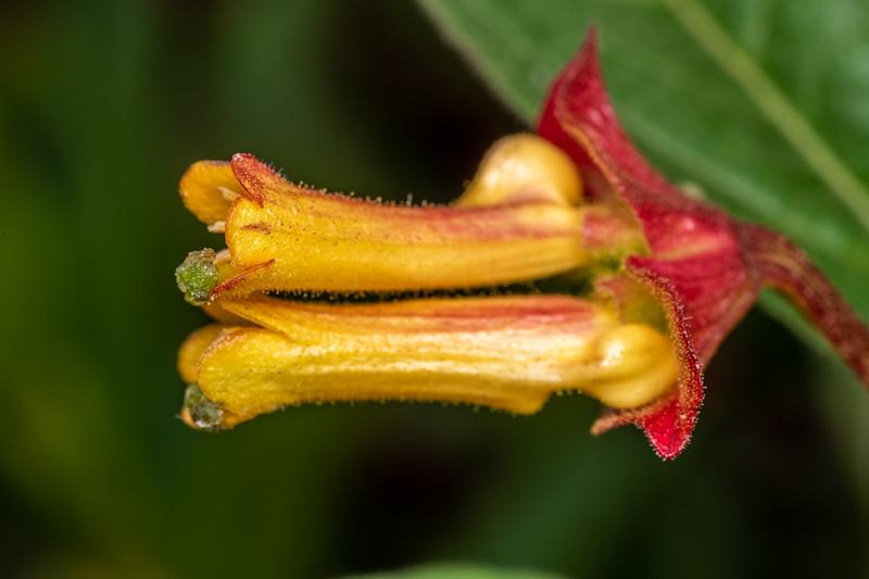 Twinberry honeysuckle (Lonicera involucrata).<br /> Palmer's Beach, Patricks Point State Park, CA, USA.