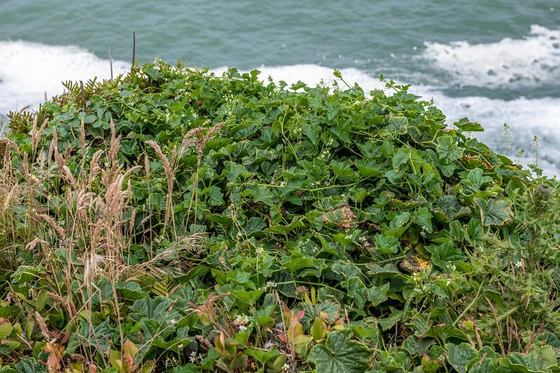 Coastal manroot (Marah oregana). Patricks Point State Park, CA, USA.