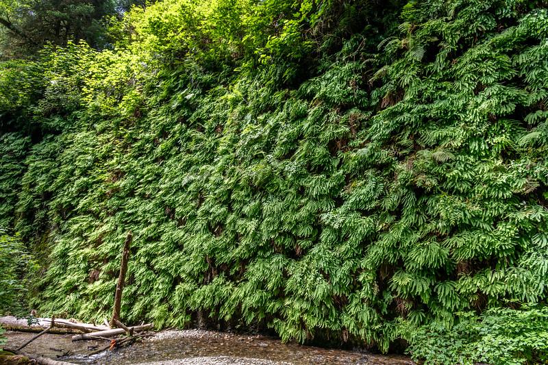 Western maidenhair fern (Adiantum aleuticum).<br /> Fern Canyon. Prairie Creek Redwoods State Park, California.