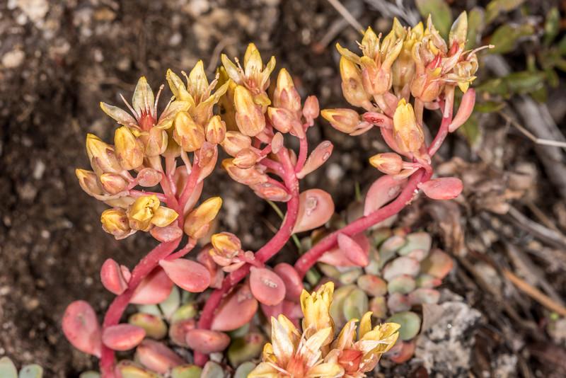 Sierra stonecrop (Sedum obtusatum). Sentinel Dome, Yosemite National Park, CA.