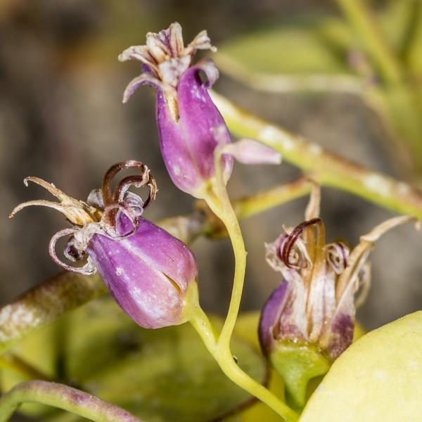 Shieldleaf (Streptanthus tortuosus). Sentinel Dome, Yosemite National Park, CA.
