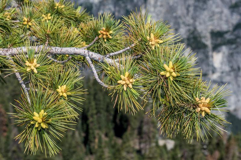 Western white pine (Pinus monticola). Sentinel Dome, Yosemite National Park, CA.