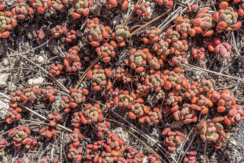 Sierra stonecrop (Sedum obtusatum). Taft Point Track, Yosemite National Park, CA.