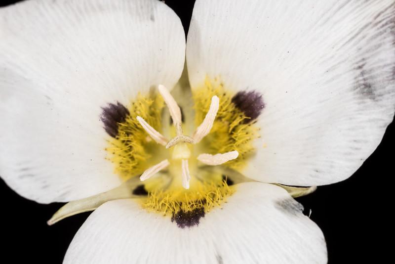 Leichtlin's mariposa lily (Calochortus leichtlinii). Indian Ridge Track, Yosemite National Park, CA.