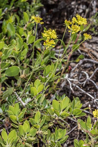 Sulphur-flower wild buckwheat (Eriogonum umbellatum). Sentinel Dome, Yosemite National Park, CA.