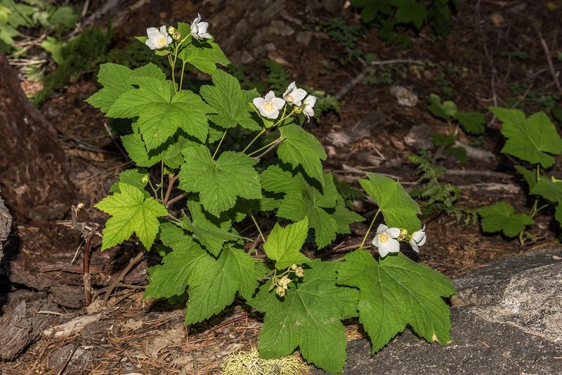 Thimbleberry (Rubus parviflorus). Taft Point Track, Yosemite National Park, CA.