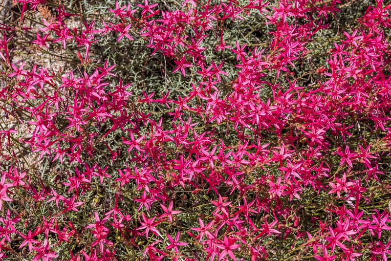 Slendertube skyrocket (Ipomopsis tenuituba). Tioga Road, Yosemite National Park, CA.
