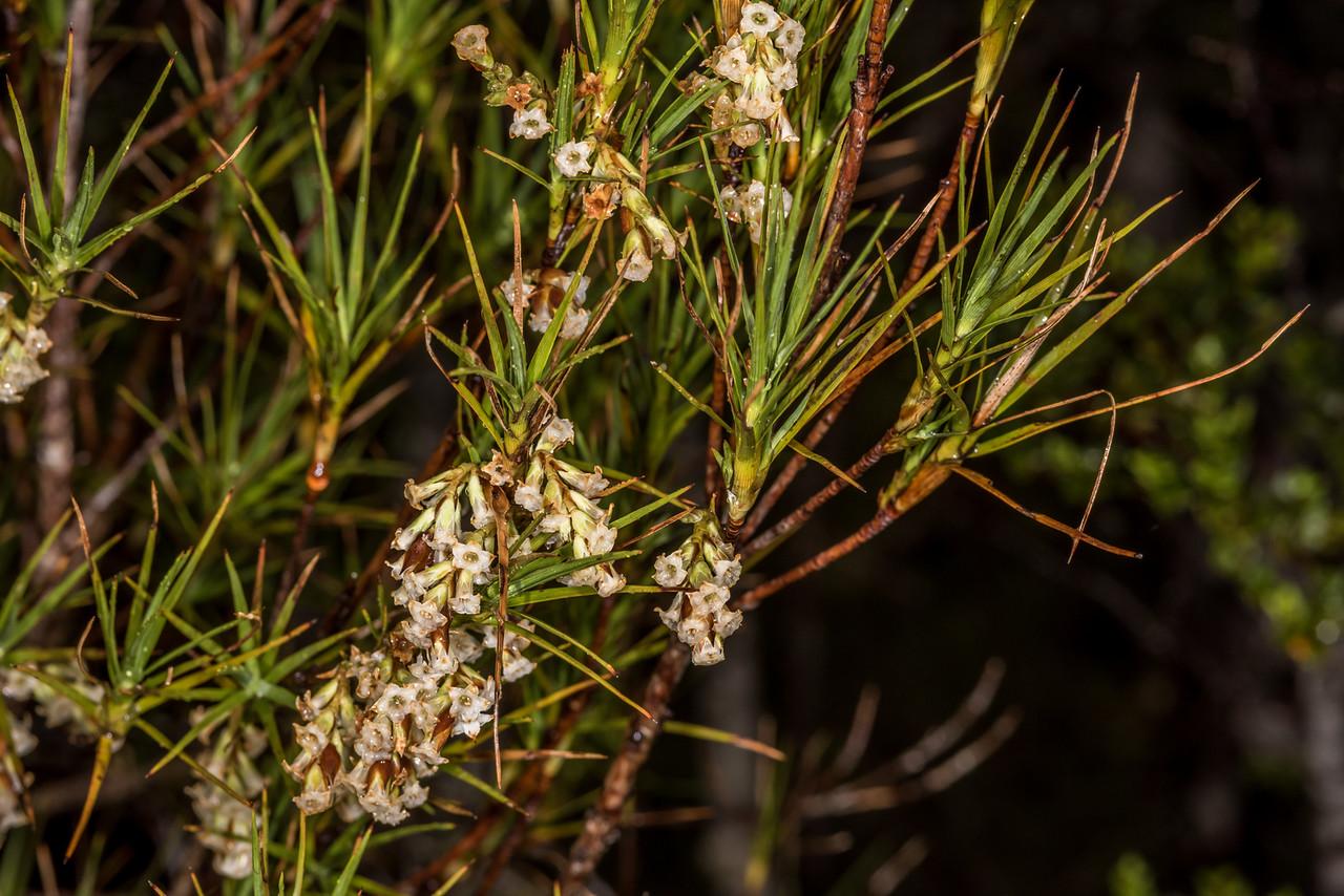 Inanga (Dracophyllum longifolium). Pleasant Range, Fiordland National Park.