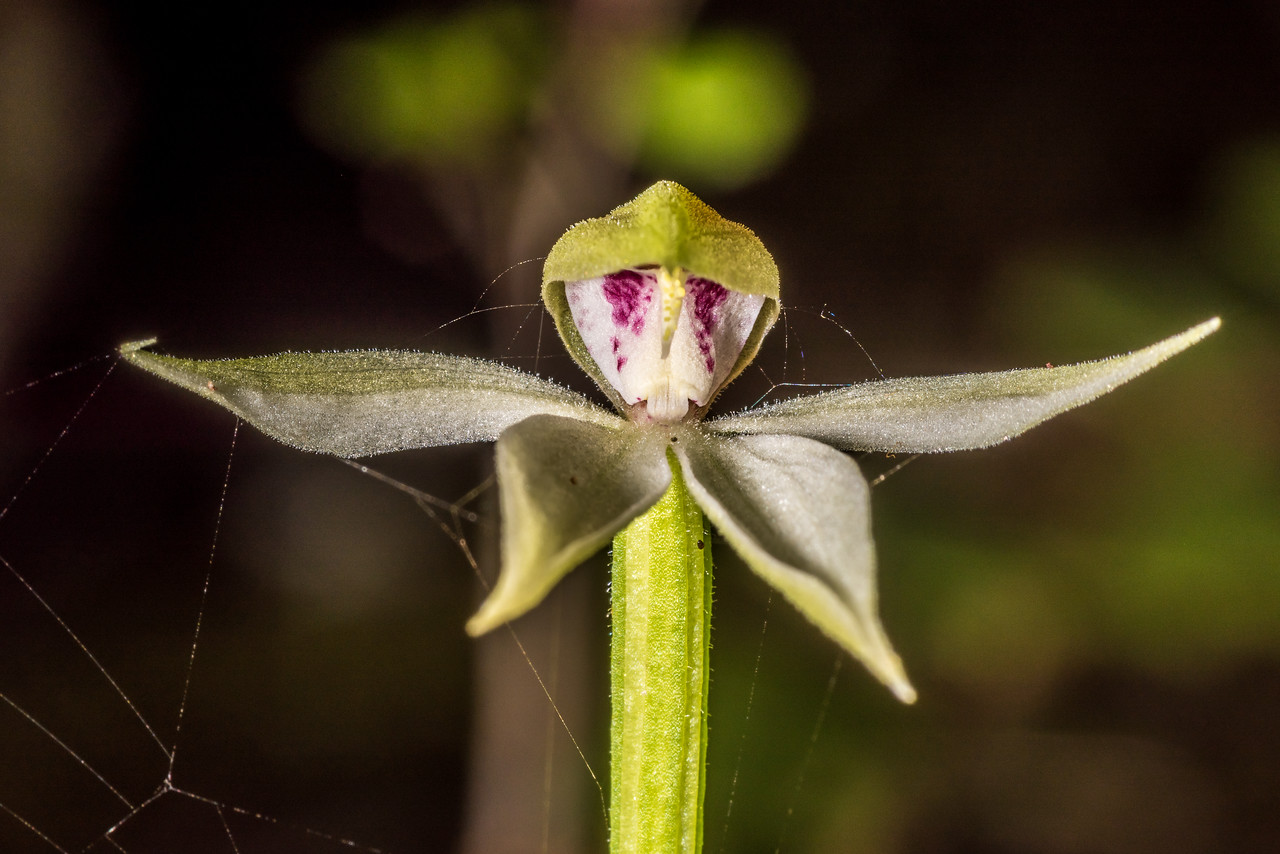 Adenochilus gracilis (a native orchid). Hauroko Burn, Fiordland National Park.