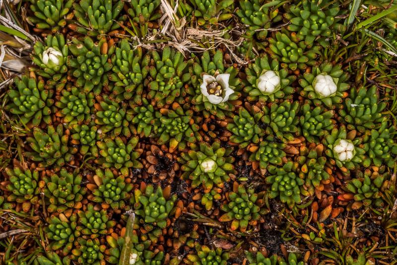 Donatia novae-zelandiae. Upper Hauroko Burn / Pleasant Range, Fiordland National Park.