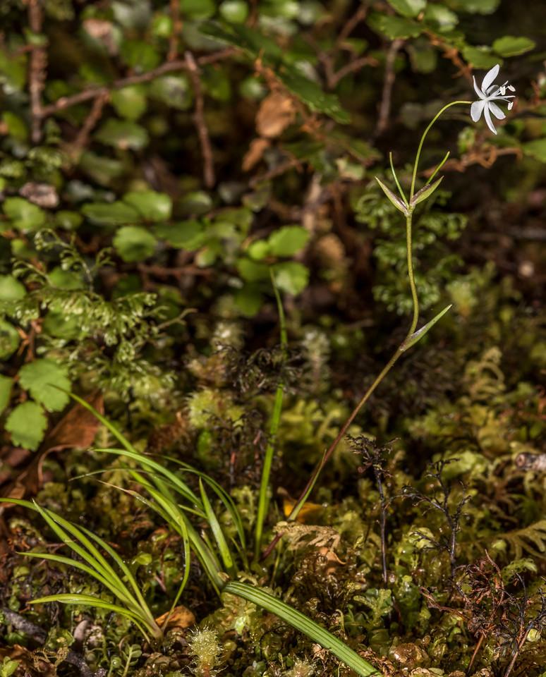 Native iris / mīkoikoi (Libertia micrantha). Hauroko Burn, Fiordland National Park.