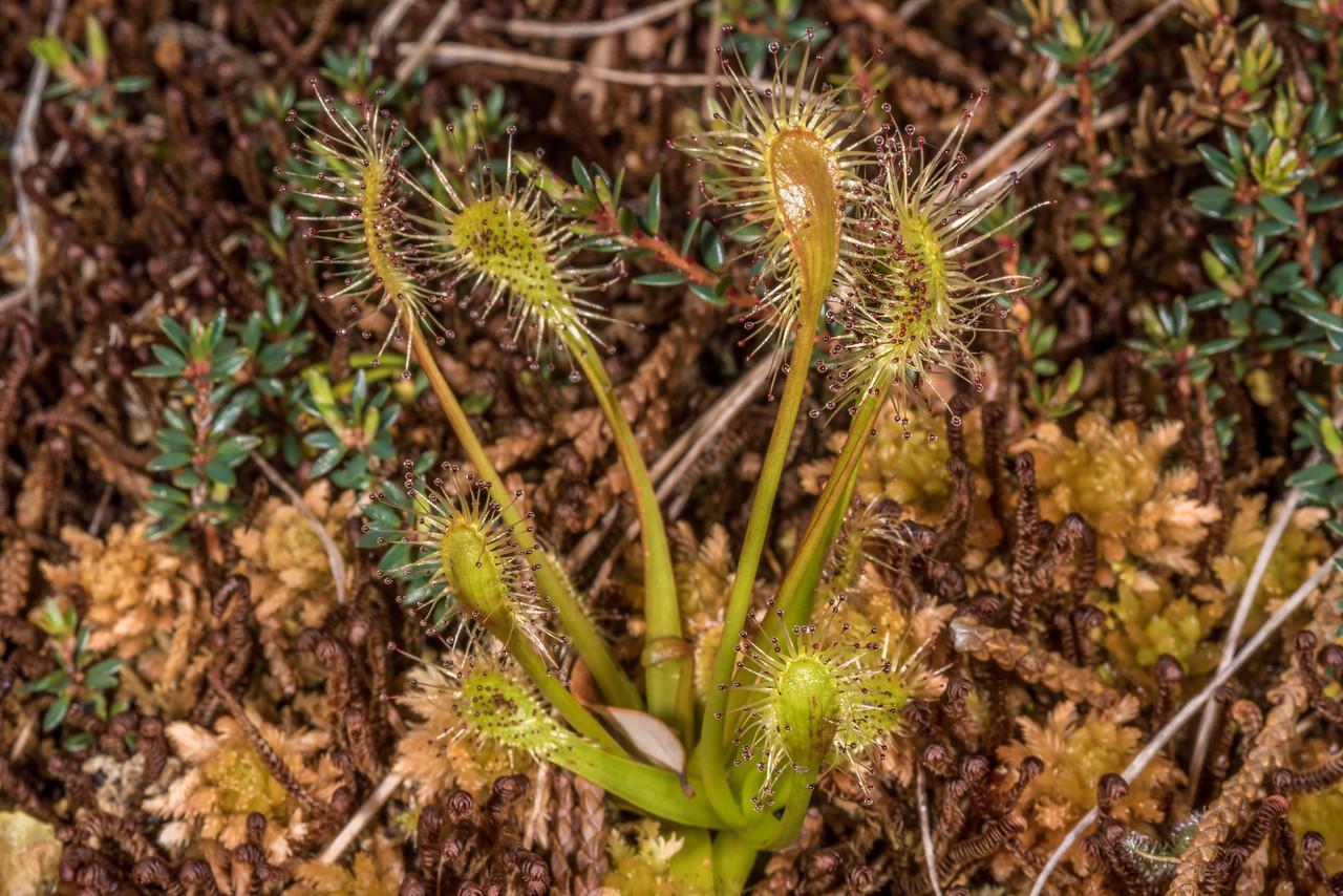 Sundew / wahu (Drosera stenopetala). Upper Hauroko Burn / Pleasant Range, Fiordland National Park.