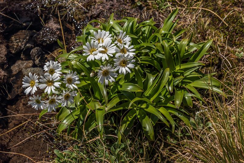 White snow marguerite (Dolichoglottis scorzoneroides). Centre Pass / Mount Memphis, Fiordland National Park.