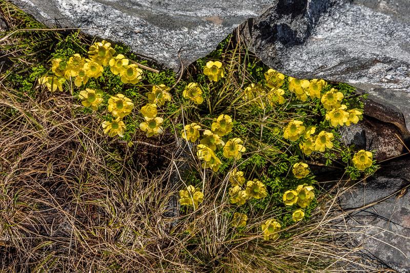 Silky alpine buttercup (Ranunculus sericophyllus). Mount Memphis, Fiordland National Park.