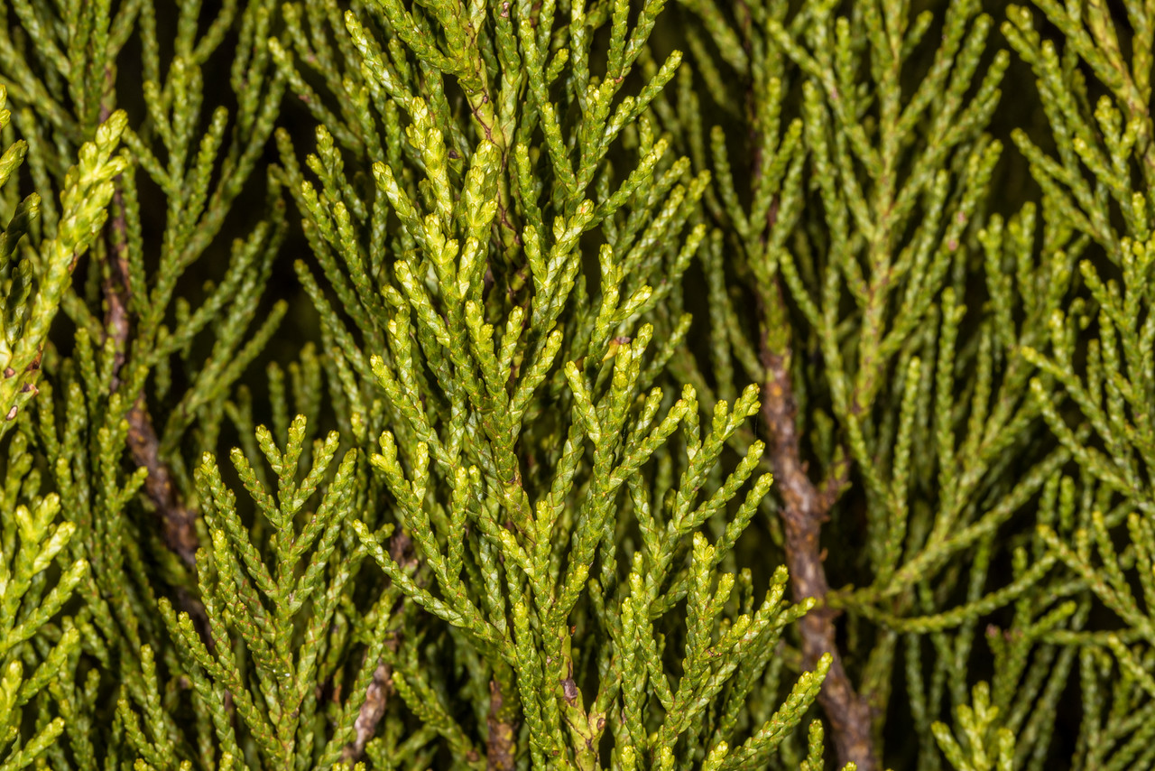 Yellow pine (Halocarpus biformis). Upper Hauroko Burn, Fiordland National Park.