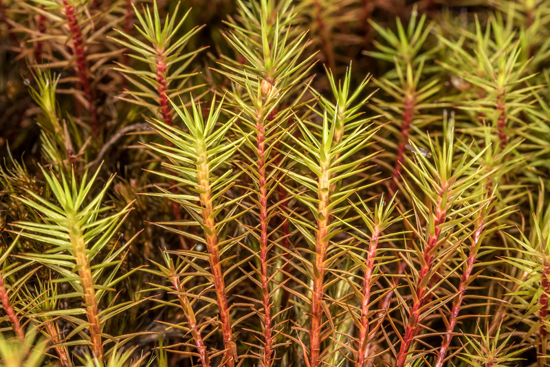 Haircap moss (Polytrichum spp.). Seaforth River, Fiordland National Park.