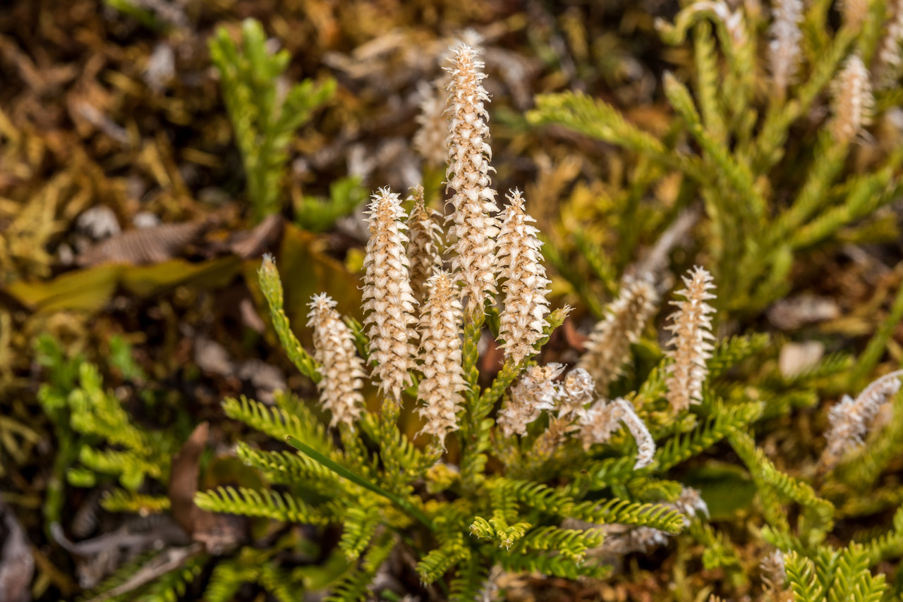 Creeping clubmoss (Lycopodium scariosum). Upper Hauroko Burn, Fiordland National Park.