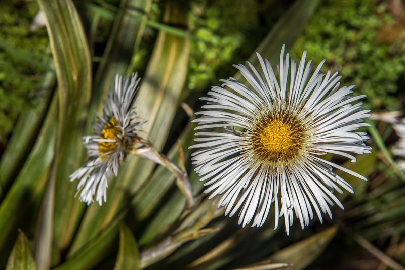 Fiordland mountain daisy (Celmisia coriacea). Warren Burn, Spey River, Fiordland National Park.