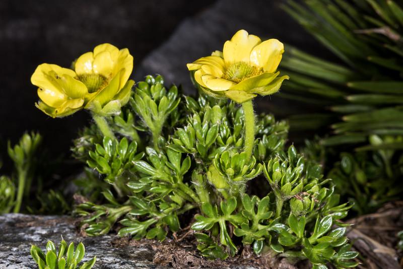 Silky alpine buttercup (Ranunculus sericophyllus). Black Lake, Gertrude Valley, Fiordland National Park.