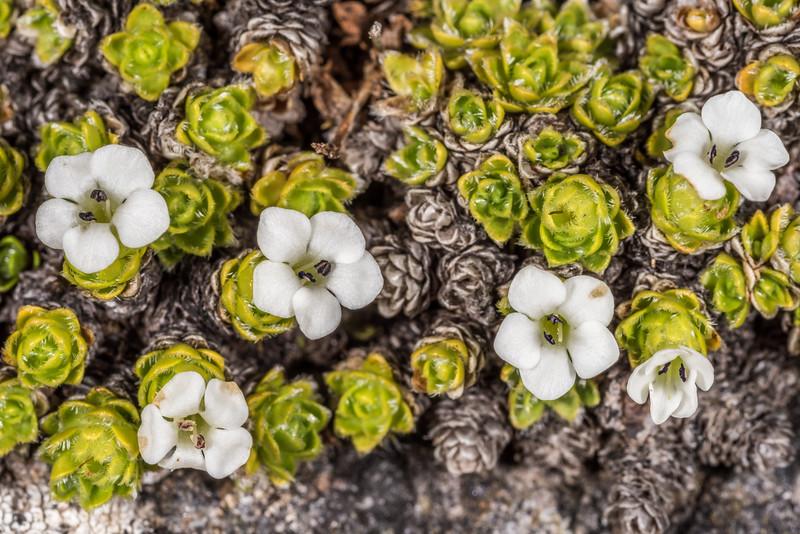 Chionohebe ciliolata. Gertrude Saddle, Fiordland National Park.