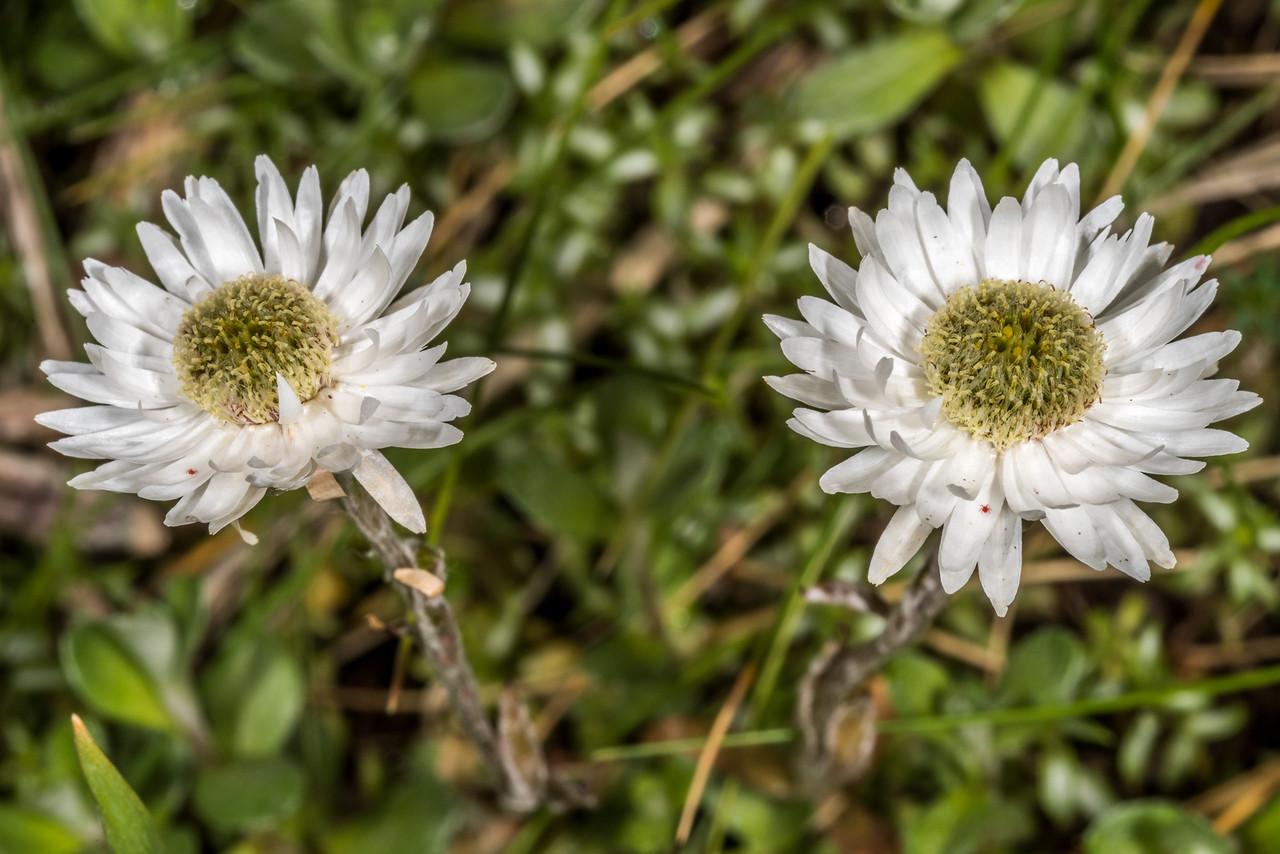 Everlasting daisy (Anaphalioides bellidioides). Gertrude Valley, Fiordland National Park.