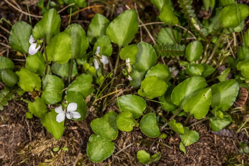 Mountain violet (Viola cunninghamii). Gertrude Valley, Fiordland National Park.