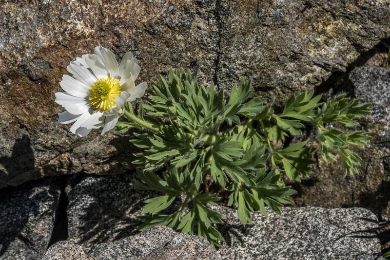 Cut-leaved alpine buttercup (Ranunculus buchananii). Mount Crosscut, Darran Mountains.