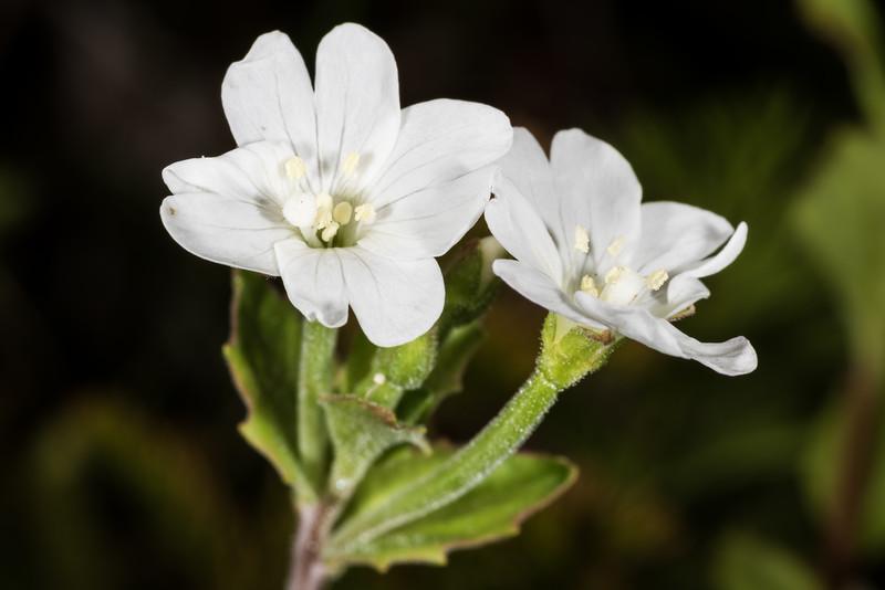 Epilobium atriplicifolium (or Epilobium alsinoides?). Gertrude Valley, Fiordland.